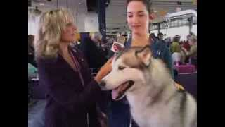 Siberian Husky And Colored Bull Terrier At The 2013 Westminster Kennel Club Dog Show