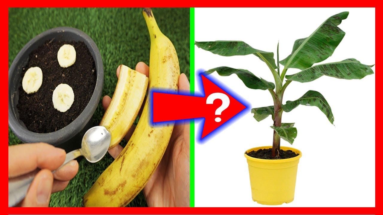 GERMINAR PLÁTANO o banano desde la fruta? Todo lo que debes saber si lo quieres hacer bien