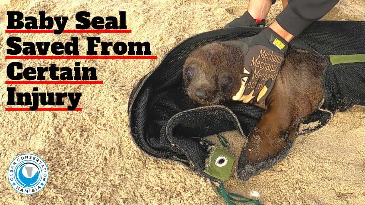 Baby Seal Saved from Certain Injury