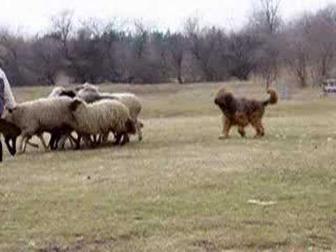 briard herding
