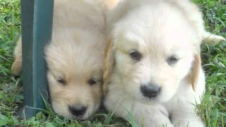 Golden Retriever Puppy Photo Slide Show