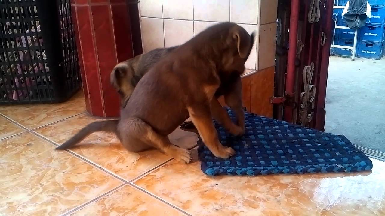 Golden Retriever X Aspin Pup Youtube