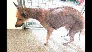 虐待により全身の毛が抜け落ち、元に戻るまで1年かかった犬! 去年の9月...