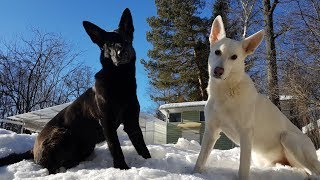 Зимний вернисаж: собаки в снегу.