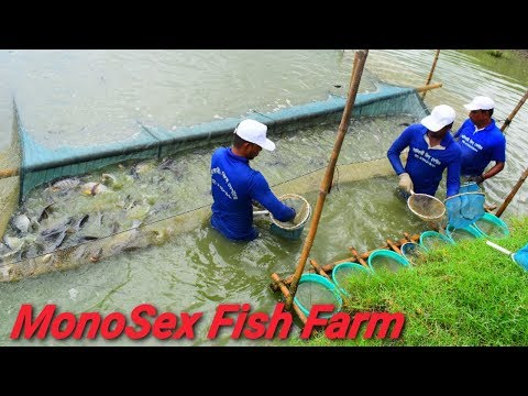 MonoSex Tilapia Fish Fry Breeding Farm মনোসেক্স - Travel Tride