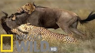 National Geographic -Built For The Kill - The Killer Cats - Wildlife Documentary