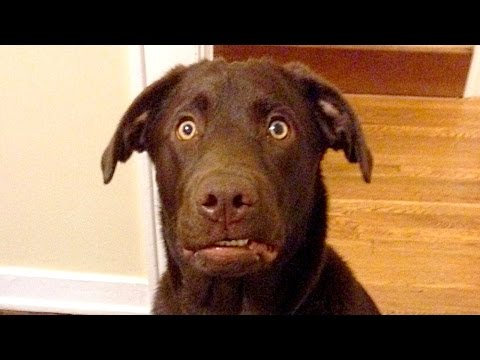 Funny Labradors Compilation NEW
