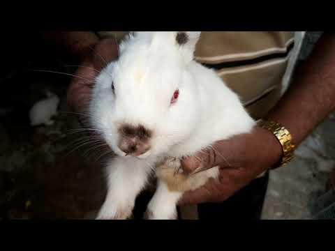 Netherland Dwarf Rabbit Cute Babies For Sale