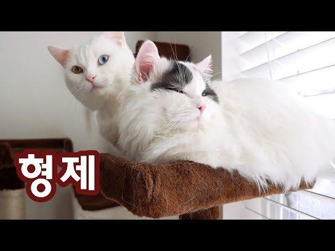 형제: 꼬부기와 쵸비 Cat Brothers