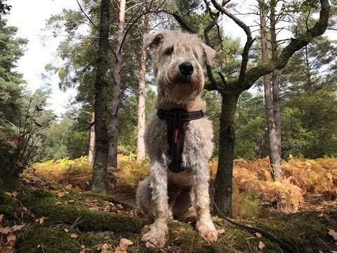 Dexy - 7 Month Old Soft Coated Wheaten Terrier - 2 Weeks Residential Dog Training