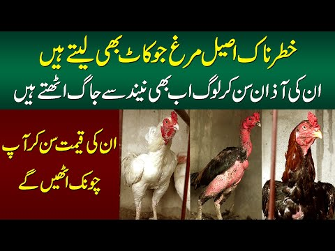A Farm Of Aseel Murghas | How Aseel Hen Farming Is done | Aseel Hens In Pakistan