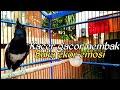 Burung Kacer Gacor Nembak Buka Ekor Dan Emosi  Mp3 - Mp4 Download