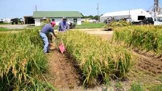 Arkansas Rice Breeding & Research