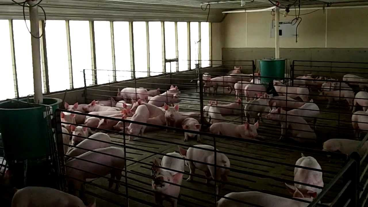 View Of The Pig Grower Finisher Room Youtube