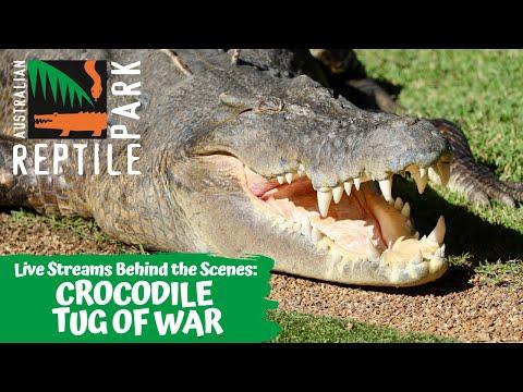 GIANT CROCODILE TUG OF WAR (UP CLOSE!) | AUSTRALIAN REPTILE PARK