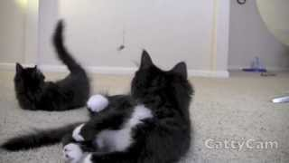 Ragamuffin Kittens playing SO Cute!