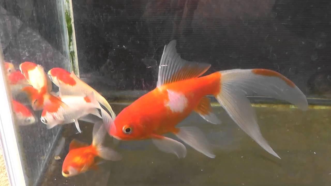金魚 病気 転覆 病 治療