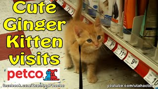 Leash Training #cute #ginger #kitten At #petco; First Store Visit For Helios