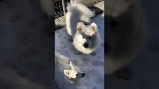 白犬が白い雪の上で雪を食べて黄昏れる.