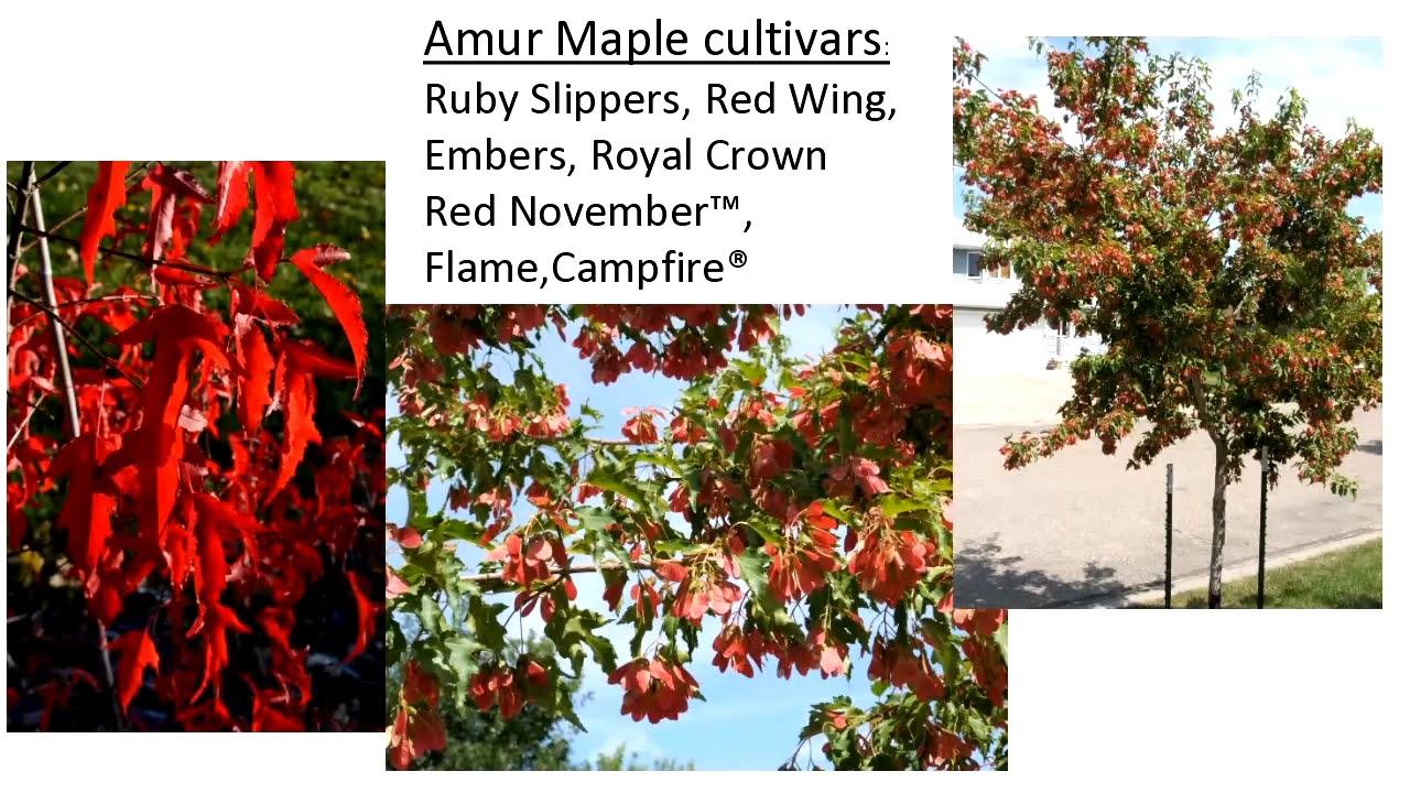 Spirng Fever Garden Forum 2018: Small Ornamental Trees For North Dakota  Landscapes