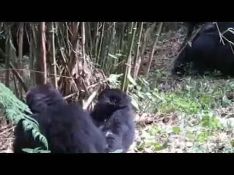 Gorilla Trek June 2010