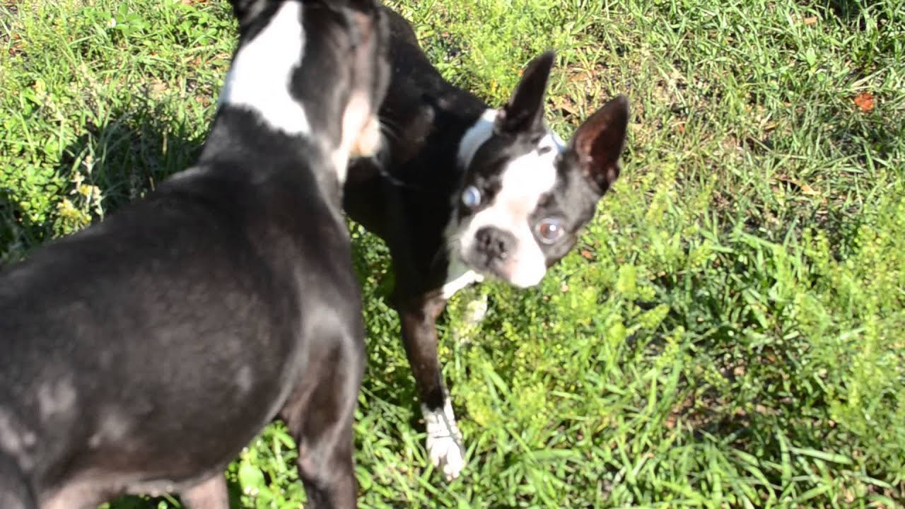Adopted Sophie Boston Terrier Rescue Of Florida Youtube