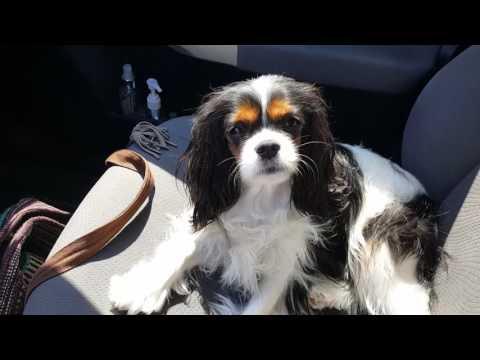 Luna the tri-color Cavalier King Charles Spaniel tired after her vet visit