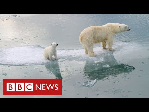 "Arctic polar bears ""face near-extinction within decades"" warn scientists - BBC News"