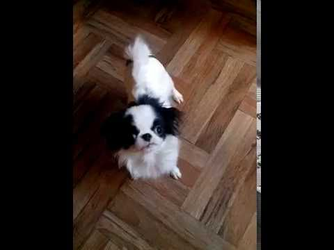 Japanese Chin puppies,teenagers