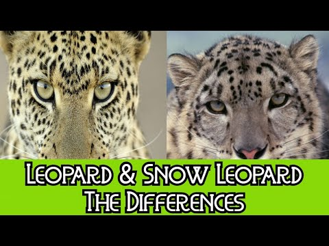 Leopard & Snow Leopard - The Differences
