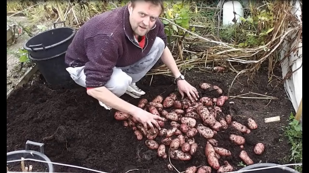 Container Grown Potatoes Big Harvest Blight Resistant