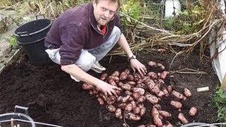 Container Grown Potatoes Big Harvest : Blight resistant Sarpo Mira