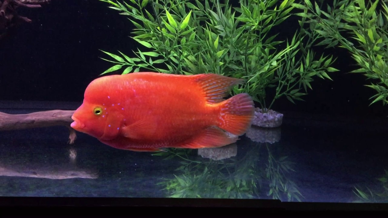 Red Mammon and Red Texas Cichlids - YouTube