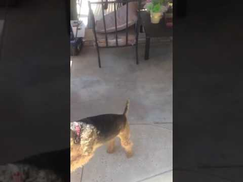 Welsh Terrier exercise
