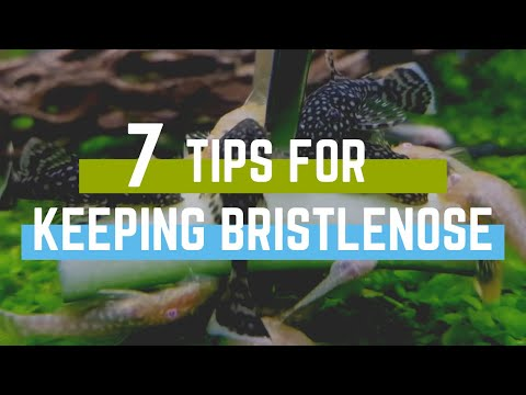 7 Tips For Keeping Bristlenose Plecos In An Aquarium