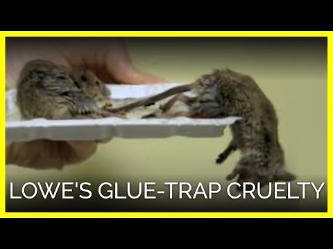 Lowe S Glue Trap Cruelty Youtube