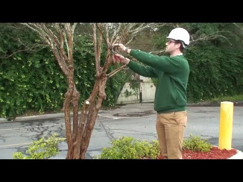 Savannah How: Properly prune your crape myrtles