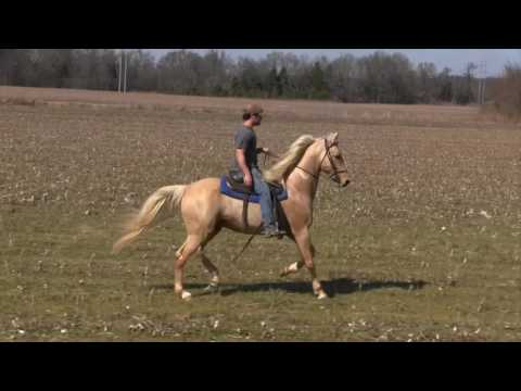 SOLD! Billy The Kid Palomino Racking SHOBA Stallion