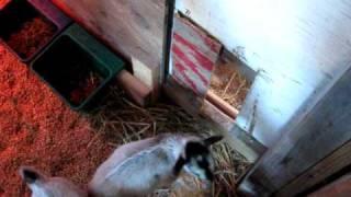 Goat Creep Feeder Door