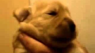 Puppy learns to whistle (Щенок учится свистеть)