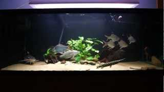 396 gallon monsterfish tank feeding sb rtc lates stingray knifefish gar