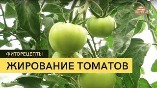 Фиторецепты Жирование томатов