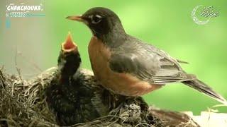 سبحت لله فى العش الطيور -  نصر الدين طوبار