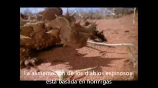 Moloch horridus - Thorny devil.wmv