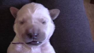 Cute newborn English Golden Retriever puppy running in sleep then getting hiccups
