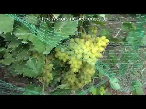 Ультраранние сорта винограда 2019. Гелиодор и Цимус.