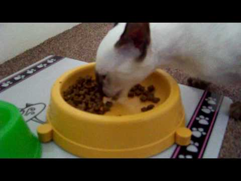 LABALLLABBALLLALLBALA NOMNOMNOM  (noisy siamese kitten)