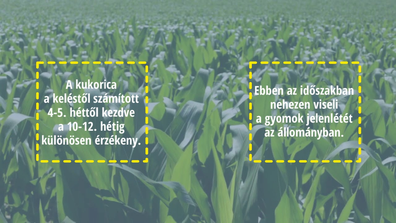 helminthosporium levél folt a kukorica