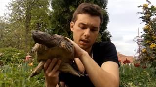 Каймановая черепаха: Чем и как кормить в домашних условиях! common snapping turtle