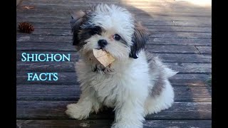 Shichon Facts  Puppies and Full Grown Dogs